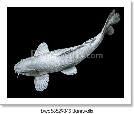 White Butterfly Koi Fish On Black Background Zen Art Calm Animal Concept Art Print Barewalls Posters Prints Bwc58529043