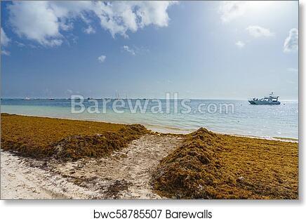 Punta Cana, Dominican Republic - June 17, 2018: sargassum seaweeds on the  beaytiful ocean beach in Bavaro, Punta Cana, the result of global warming