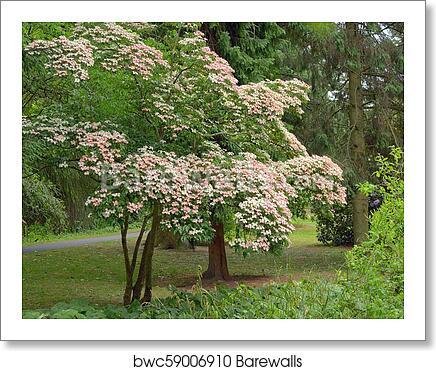 Korean Dogwood Tree In Botanical Garden Dublin Art Print