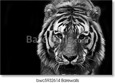 4d56c3350 Black and white portrait of tiger, Art Print | Barewalls Posters ...