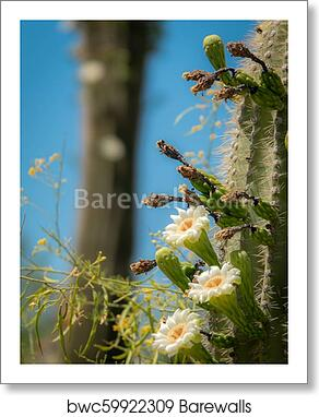 Saguaro Cactus Blossoms With White Flower And Fruit Art Print Barewalls Posters Prints Bwc59922309