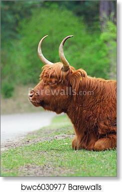 Highland Bull Art Print Barewalls Posters Prints Bwc6030977