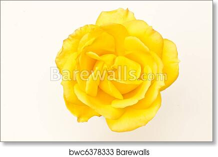Single Yellow Rose Flower Photos Flowers Healthy
