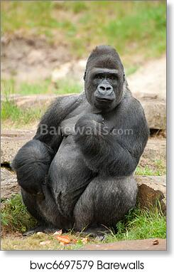 Art print POSTER CANVAS Western Lowland Gorilla and Her Baby