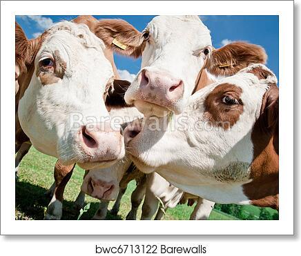 Cow Faces art print poster