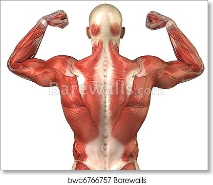 Art Print of Man back muscular system posterior view in body-builder ...