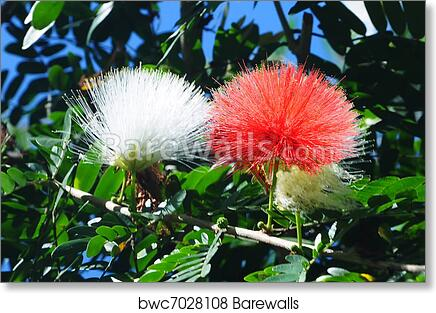 Art print of persian silk tree albizia julibrissin barewalls art print of persian silk tree albizia julibrissin barewalls posters prints bwc7028108 mightylinksfo