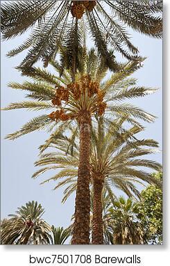 Art Print Of Date Palm Trees Barewalls Posters Prints Bwc7501708