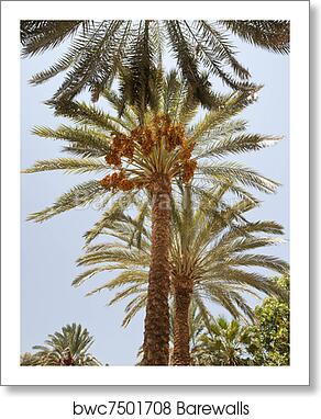 Art Print Of Date Palm Trees Barewalls Posters Prints Bwc7501708