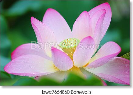 Art print of lotus flower barewalls posters prints bwc7664860 art print of lotus flower mightylinksfo