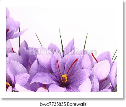 Purple Saffron Crocus Flowers Banner Art Print Barewalls