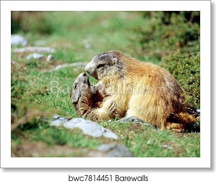 Marmots ready for kissing art print poster