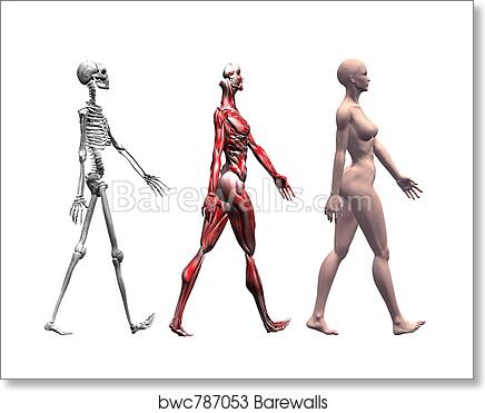 Art Print of Skeleton and Muscles of a Human Female   Barewalls ...