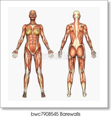Art Print of Female Muscles | Barewalls Posters & Prints | bwc7908545