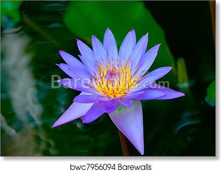 Art print of lotus flower barewalls posters prints bwc7956094 art print of lotus flower mightylinksfo