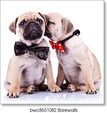 Beautiful Puppies Bow Adorable Dog - adorable-pug-puppy-dogs-couple  Picture_551695  .jpg
