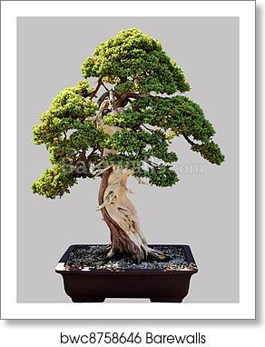 Japanese Bonsai Tree In Pot Isolated Art Print Barewalls Posters Prints Bwc8758646