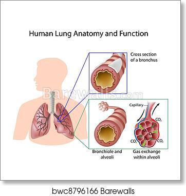 Art Print of Human lung anatomy & function, eps8 | Barewalls Posters ...