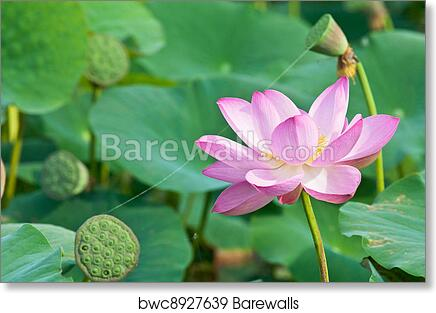 Art print of sacred lotus flower living fossil close up art print of sacred lotus flower living fossil close up mightylinksfo