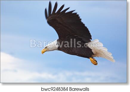 Art Print Of Bald Eagle Flying Barewalls Posters Prints Bwc9248384