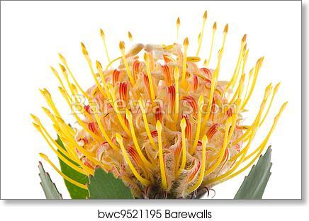 Pincushion Protea Art Print Poster