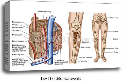 Canvas Print of Anatomy of human bone marrow. by Stocktrek Images ...