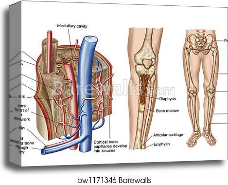 Anatomy of human bone marrow by Stocktrek Images 7fa66262dfc