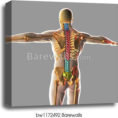 Canvas Print Of Human Spinal Cord By Stocktrek Images Barewalls