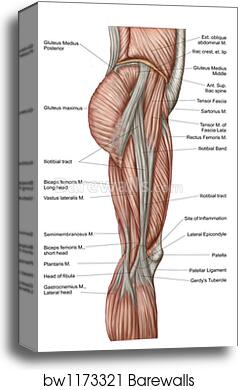 Canvas Print Of Anatomy Of Human Thigh Muscles Anterior View By