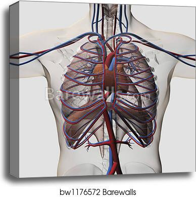 Canvas Print Of Medical Illustration Of Male Chest With Arteries