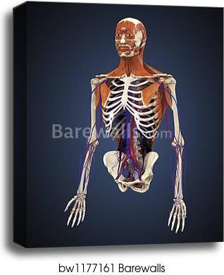 human upper body showing bones, muscles and circulatory system by stocktrek  images, canvas print