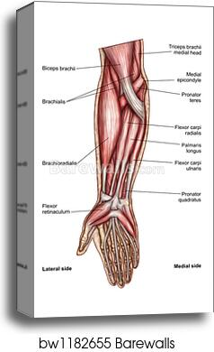 Canvas Print Of Anatomy Of Human Forearm Muscles Superficial