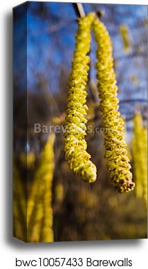 A Hazel Flowers In Spring Allergy Canvas Print Barewalls