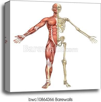 diagram of male skeleton male muscular skeleton split front view  canvas print barewalls  male muscular skeleton split front view