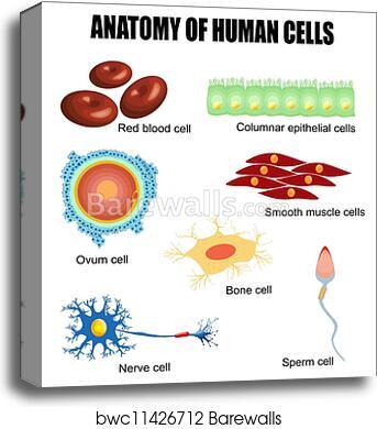 Canvas Print Of Anatomy Of Human Cells Barewalls Posters Prints