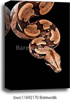 Colombian Red Tail Boa Constrictor Canvas Print Barewalls Posters Prints Bwc11692170