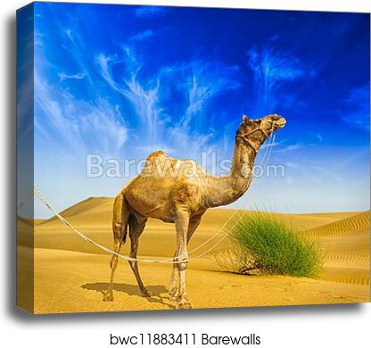 Canvas Print Of Desert Landscape Sand Camel And Blue Sky With