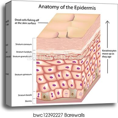 Canvas Print Of 3d Anatomy Of The Epidermis Barewalls Posters