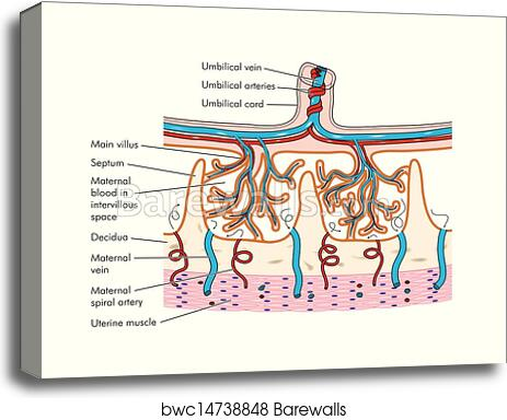 Canvas Print of Anatomy of the placenta | Barewalls Posters & Prints ...