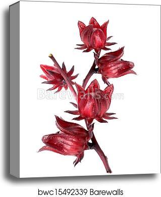 Hibiscus Sabdariffa Or Roselle Fruits Canvas Print Barewalls