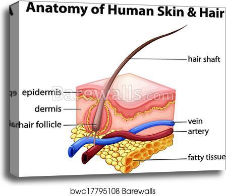 Canvas Print Of Anatomy Of Human Skin And Hair Barewalls Posters