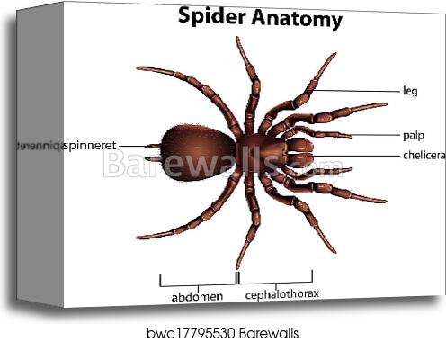 Canvas Print of Anatomy of a spider | Barewalls Posters & Prints ...