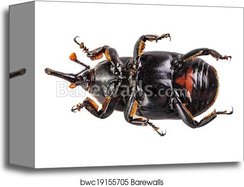 canvas print of red weevil s belly barewalls posters prints