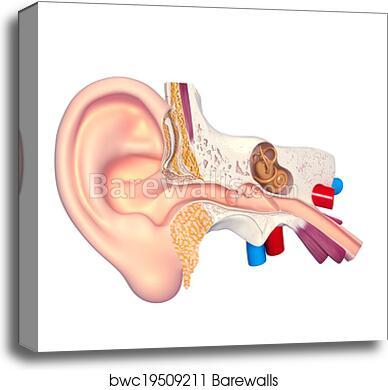 Canvas Print Of Human Ear Anatomy Barewalls Posters Prints