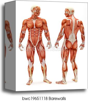 Canvas Print of Male musculoskeletal system | Barewalls Posters ...