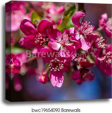 Crab Apple Trees In Spring Bloom Canvas Print Barewalls Posters