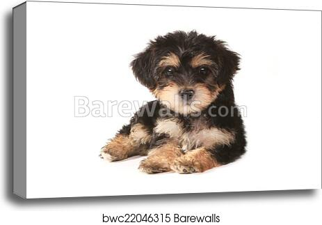 Tiny Miniature Teacup Yorkie Puppy On