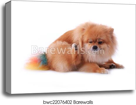 Canvas Print Of Brown Pomeranian Dog Scratching Isolated On White