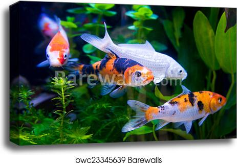 Koi Fish 2 Art Print Canvas Print Home