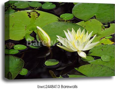 CANVAS Water Lilly Pads and Blooms on Pond Art print POSTER